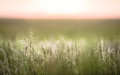 Grass swaying in a field at sunset an open with blurry background Royalty Free Stock Image