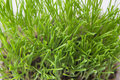 Grass tips Royalty Free Stock Photo