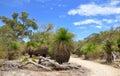 Grass Trees: Australian Bushland Royalty Free Stock Photo