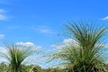 Grass trees tops of xanthorrhoea against bright blue sky with clouds Royalty Free Stock Photos