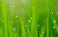Grass and water drops Stock Images