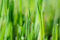 Grass with water drops green Stock Photography