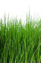 Grass on white background vertical Stock Photos