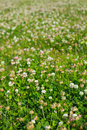Grass and white clovers Royalty Free Stock Photography