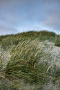 Grass on a white sand dunes beach in denmark blue sky background Royalty Free Stock Photos