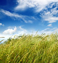 Grass and wind blowing Royalty Free Stock Photo