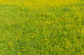 Grass with yellow flowers Royalty Free Stock Image