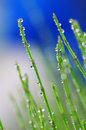 Grasses with dewdrops Stock Photo