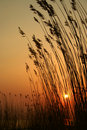 Grasses silhouetted at sunset Stock Photo