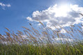 Grasses in the sky and blue cloudy summer Royalty Free Stock Images