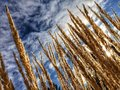 Grasses in winter sun with shining through Royalty Free Stock Photography
