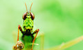 Grasshoper cling grass morning sunrise full green background Royalty Free Stock Photo