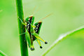Grasshoper cling grass morning sunrise full green background Royalty Free Stock Photography