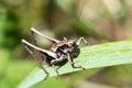Grasshoper closeup