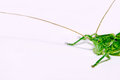Grasshopper Royalty Free Stock Photos
