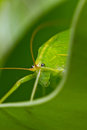 Grasshopper. Royalty Free Stock Photography