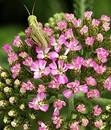 Grasshopper on Achillea Royalty Free Stock Images
