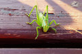 Grasshopper big green on a table Stock Photography