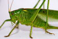 Grasshopper a big on a white background Royalty Free Stock Photography