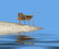 Grasshopper in blue ambiance extreme low angle shot of a on reflective water surface Royalty Free Stock Image