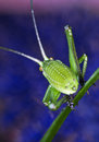 Grasshopper on blue background Royalty Free Stock Image