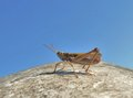 Grasshopper in blue sky extreme low angle shot of a front of Royalty Free Stock Photos