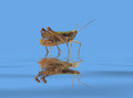 Grasshopper in blue wet ambiance extreme low angle shot of a on reflective water surface Stock Photography