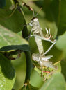 Grasshopper changing skin a green on a lemon tree branch eyes closed going through a difficult process of rebirth by its white Stock Photo
