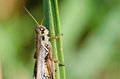 Grasshopper Clinging to a Blade of Grass Royalty Free Stock Images