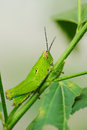 Grasshopper a close up of the on branch Royalty Free Stock Image