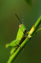 Grasshopper a close up of the on branch Royalty Free Stock Photography