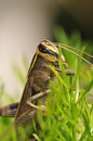 Grasshopper closeup Royalty Free Stock Images