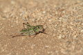 Grasshopper and cricket crickets of mongolia Royalty Free Stock Image