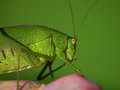 Grasshopper eat a pink rose Royalty Free Stock Images