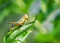 Grasshopper eating and destroying leaves Royalty Free Stock Photo