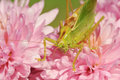 Grasshopper on the flower Royalty Free Stock Image