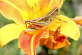 Grasshopper on flower Stock Image