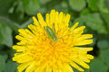 Grasshopper on the flower tettigonia cantans larva dandelion Royalty Free Stock Image