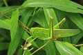 Grasshopper in forest is staying on the bamboo leaf Stock Image