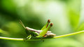 Grasshopper on a green leaf. macro Royalty Free Stock Photo
