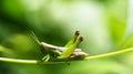 Grasshopper on a green leaf. macro Royalty Free Stock Photo