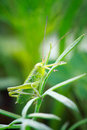 Grasshopper green sits on dill Royalty Free Stock Photography