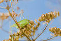 Grasshopper green sits on umbellifer plant against the blue cloudless sky Royalty Free Stock Images