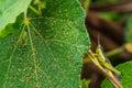 Grasshopper greener insect