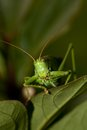 Grasshopper the head of a big green Royalty Free Stock Photography