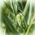 Grasshopper hiding in the green grass Stock Photo