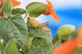 Grasshopper hiding in the orange flowers Royalty Free Stock Photo