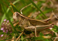 Grasshopper, horizontal Royalty Free Stock Image