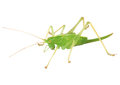 Grasshopper illusration of a over white background Stock Image