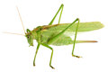 Grasshopper isolated - Tettigonia viridissima Royalty Free Stock Photo